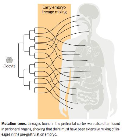 arbre du cerveau Sci 2.10.15, 37
